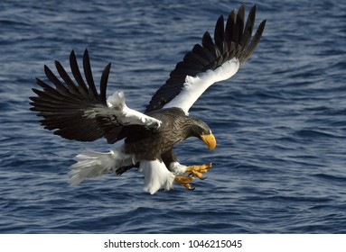Adult Steller's sea eagle in flight. Steller's sea eagle, Scientific name: Haliaeetus pelagicus.