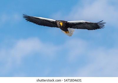 Adult Steller's sea eagle in flight. Front view. Scientific name: Haliaeetus pelagicus. Blue sky  background.