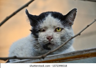 Adult stray tomcat with old wounds from territory fights, yellow one eyed and swollen mandibular lymph nodes. Adopt don't shop, spay and neuter campaign, viral disease fiv/felv concepts