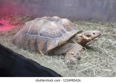 An adult sulcata tortoise in an enclosure with a heat lamp in the background