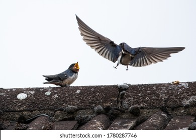 Adult swallow (Hirundo rusticana) feeds a young fledgling swallow on an English country rooftop while the fledgling swallow calls out for food.