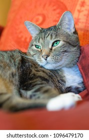 Adult tabby cat rests comfortably on colorful pillows