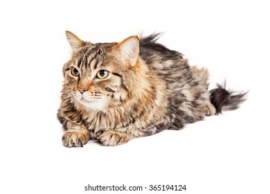 Adult tan and black color tabby cat laying on white background to side