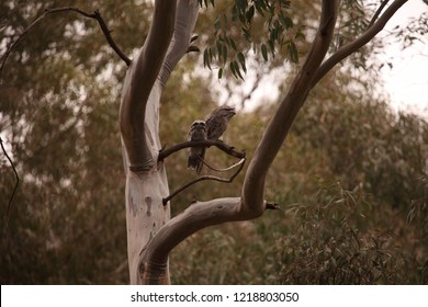 An adult Tawny Frogmouth perched on a branch with a sub-adult fledgling