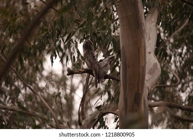 An adult Tawny Frogmouth perched with a sub-adult fledgling