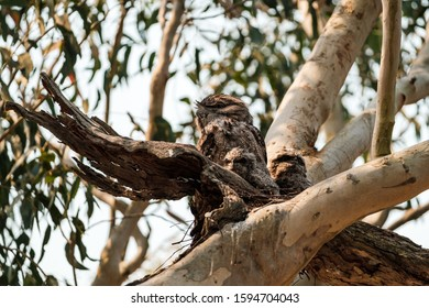 An adult Tawny Frogmouth (Podargus strigoides) with two chicks in a nest in NSW, Australia