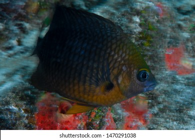 An adult threespot damselfish aggressively defends its garden of algae from a curious scuba diver on a beautiful reef in Bonaire.