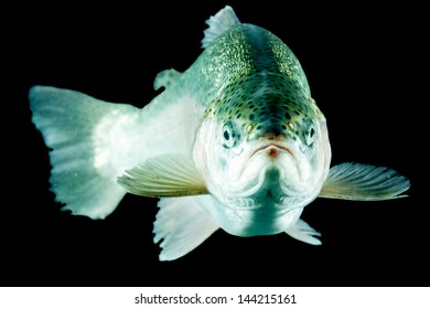 Adult Trout Fish Isolated On Black