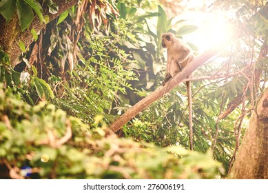 Adult vervet monkey sitting on a branch at sunset, relaxing in the heat of the sunlight in the treetops of the tropical rain forrest