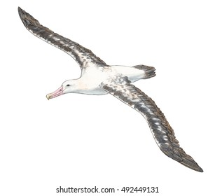 Adult wandering albatross (Diomedea exulans) in flight - white no background