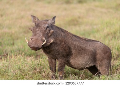 Adult Warthog on the Serengeti Plains in Tanzania, Africa