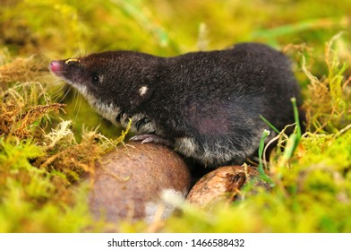 adult water shrew searching for invertebrates in moss