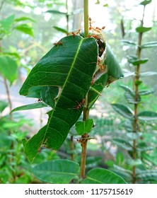 Adult weaver ants (Oecophylla smaragdina) are reddish. They bind a fresh leaf with silk to form their nest.