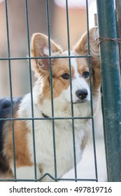 Adult welsh corgi pembroke in the fence of the park