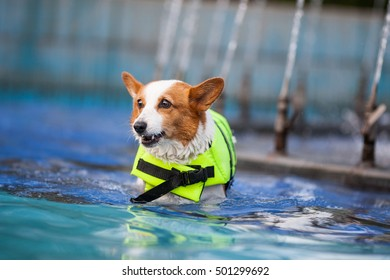 An adult welsh corgi pembroke swims in the park