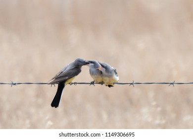 An adult Western Kingbird feeding one of two fledglings (beak inserted) while the other fledgling demands food with beak wide open.  Isolated against a blurred background.