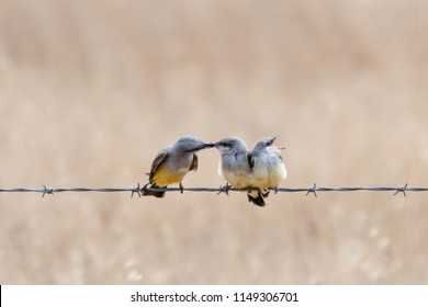An adult Western Kingbird feeding one of two fledglings while the other fledgling looks for food in the opposite direction  with beak wide open.  Isolated against a blurred background.