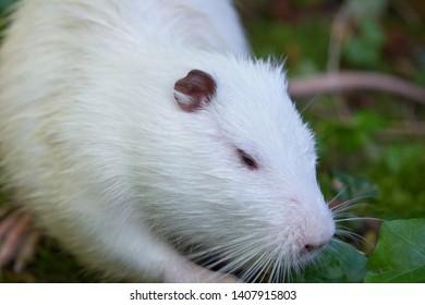 adult wet white muskrat closeup