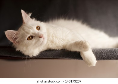 Adult white Persian cat