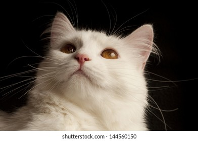 Adult white Persian cat
