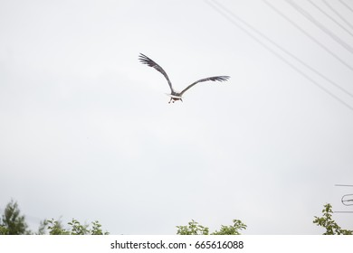 The adult white stork flies away with the raised wings