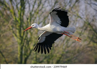 The adult white stork flying in nature park Lelystad, The Netherlands