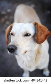 Adult white street dog