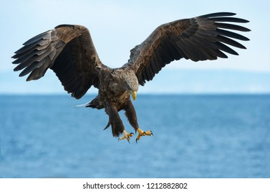 Adult White tailed eagle in flight. Blue sky and ocean background.  Scientific name: Haliaeetus albicilla, also known as the ern, erne, gray eagle, Eurasian sea eagle and white-tailed sea-eagle.