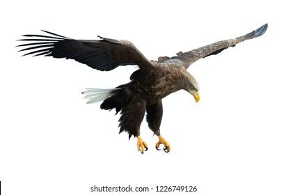Adult White tailed eagle in flight. Isolated on White background. Scientific name: Haliaeetus albicilla, also known as the ern, erne, gray eagle, Eurasian sea eagle and white-tailed sea-eagle.