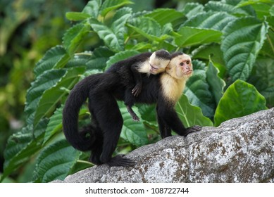 An adult white-faced capuchin monkey in Costa Rica carrying a baby on it's back.