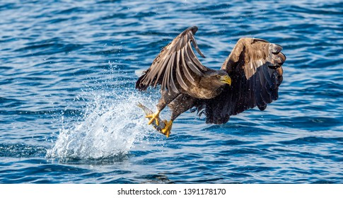 Adult White-tailed eagle fishing. Blue Ocean Background. Scientific name: Haliaeetus albicilla, also known as the ern, erne, gray eagle, Eurasian sea eagle and white-tailed sea-eagle.