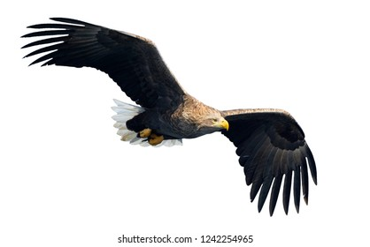 Adult White-tailed eagle in flight. Isolated on White background. Scientific name: Haliaeetus albicilla, also known as ern, erne, gray eagle, Eurasian sea eagle and white-tailed sea-eagle