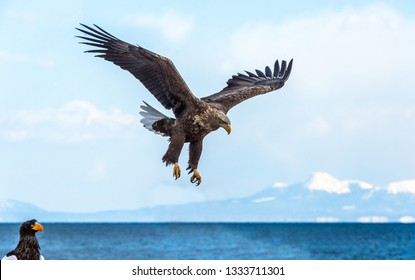 Adult White-tailed eagle in flight. Sky  background. Scientific name: Haliaeetus albicilla, Ern, erne, gray eagle, Eurasian sea eagle and white-tailed sea-eagle.