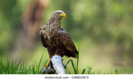 Adult white-tailed eagle, haliaeetus albicilla, sitting on bough low above ground in floodplain forest with broken tree blurred in background. Wild predator in natural environment.