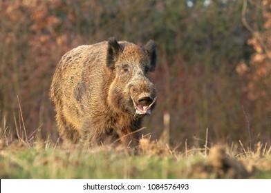 Adult wild boar Sus scrofa