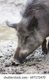 adult wild boar, Sus scrofa, searching for food in the mud