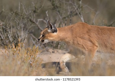 An adult wild Caracal (Caracal caracal) close up, in hunting mode in desert vegetation, Kgalagadi Transfrontier Park, South Africa