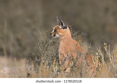 An adult wild Caracal (Caracal caracal) sitting in desert vegetation, Kgalagadi Transfrontier Park, South Africa