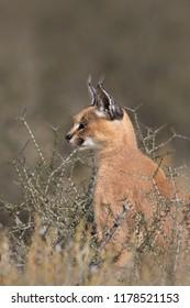 An adult wild Caracal (Caracal caracal) sitting in desert vegetation, Kgalagadi Transfrontier Park, South Africa