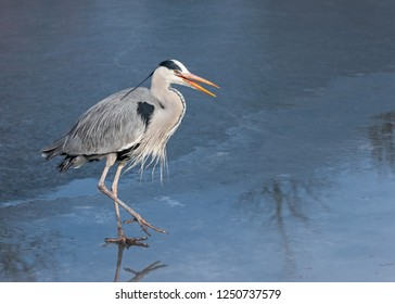 Adult wild gray heron in a breeding dress goes on the ice, The Netherlands