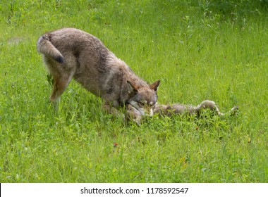 Adult Wolf Teaching Pup Respect