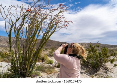 Adult woman photographer takes pictures of a flowering Ocotillo plant in bloom in Anza Borrego State Park during the California super bloom