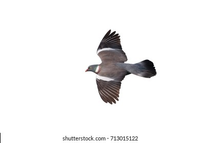 An adult Wood Pigeon or Common Wood Pigeon, Columba palumbus, in flight isolated against a white background.