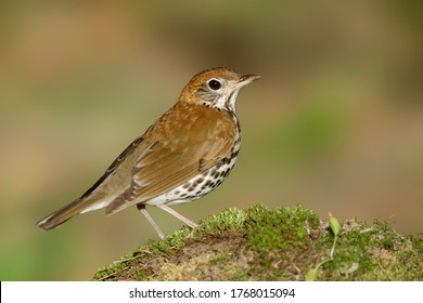 Adult Wood Thrush (Hylocichla mustelina) during spring migration at Galveston County, Texas, USA.