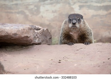 Adult woodchuck, or groundhog, stands, peering over rock.