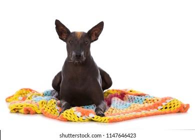 Adult xolo dog lying on a blanket isolated on white