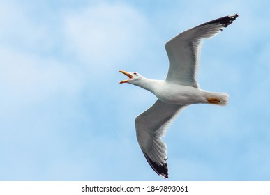 Adult Yellow-legged Gull (Larus michahellis michahellis) in flight against cloudy and blue sky on Lesvos, Greece. During flight giving distinctive long call.