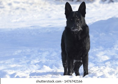 Adult young big black dog German Shepherd stands in snow. His head, muzzle (snout), whisker are coated with snow and ice. Background - free place (copy space) for text or product is on the left side.