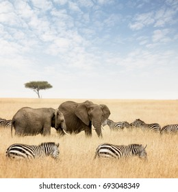 Adult and young elephant with zebras and lone acacia tree, in the red oat grass of the Masai Mara, Kenya.