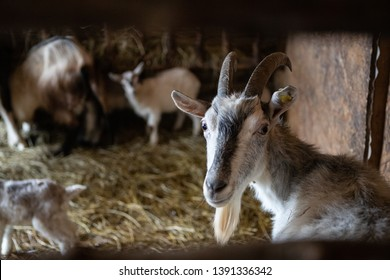 Adult and young goats in the barn